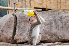 Małpia woda pitna od butelki obraz stock