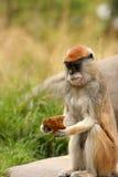 małpich patas jeść obraz stock