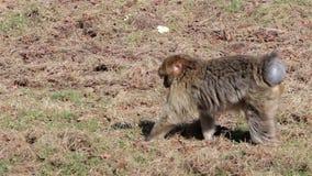 Małpie Pokazuje purpury Zgłębiają, Jedzący od ziemi, chodzi - Barbary makaki Algieria & Maroko zdjęcie wideo