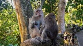 Małpie szuka pchły w inny małpa zbiory wideo