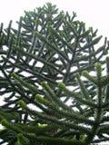 Małpiej łamigłówki drzewna Chilijska araukaria - wiecznozielony drzewo zdjęcie stock