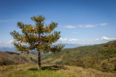 Małpiej łamigłówki drzewo Zdjęcie Royalty Free