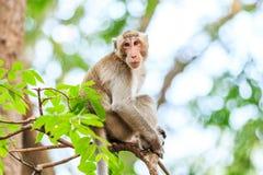 Małpuje (łasowanie makak) na drzewie Zdjęcia Stock