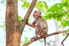 Małpuje (łasowanie makak) na drzewie Zdjęcia Royalty Free
