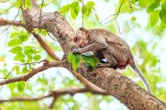 Małpuje (łasowanie makak) na drzewie Fotografia Stock