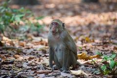 Małpuje (łasowanie makak) w Tajlandia Zdjęcia Royalty Free