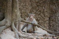 Małpuje (łasowanie makak) w Tajlandia Obraz Royalty Free