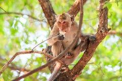 Małpuje (łasowanie makaka) łasowania jedzenie na drzewie Obraz Stock