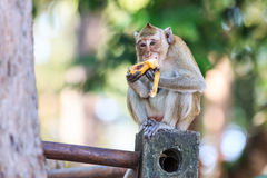 Małpuje (łasowanie makaka) łasowanie banana Obraz Royalty Free