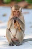 Małpuje (łasowanie makaka) łasowanie banana Zdjęcia Royalty Free