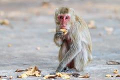 Małpuje (łasowanie makaka) łasowanie banana Zdjęcie Stock
