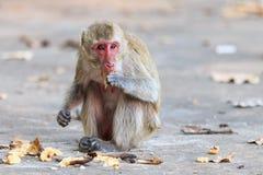 Małpuje (łasowanie makaka) łasowanie banana Fotografia Royalty Free