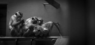Małpuje kredo w zoo zdjęcie royalty free