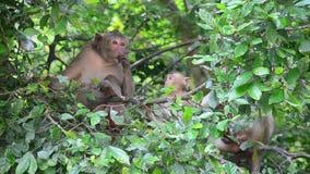 Małpuje na drzewie przy Pong Krathing Gorącą wiosną zdjęcie wideo