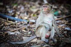 Małpuje na ziemi, szukał coś, zwierzę, Fotografia Royalty Free
