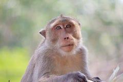 Małpuje portret Zdjęcia Stock