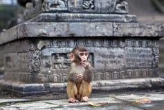 Małpuje przy Pashupatinath świątynią w Kathmandu, Nepal Obraz Royalty Free