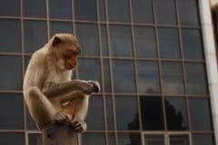 Małpuje w miasteczku przy rozwala Sam yot lopburi Thailand obraz stock