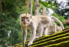 Małpuje w zwierzęcym lesie, Ubud, Bali wyspa Fotografia Stock