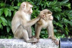 Małpy Obrazy Royalty Free