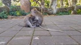 Małpy bawić się z each inny w parku zdjęcie wideo