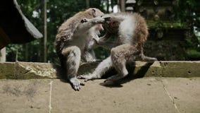 Małpy Bawić się zwierzę natury kulturę Indonezja Slowmotion zbiory wideo