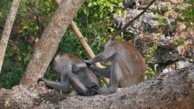 Małpy dbają o each inny w drzewie zdjęcie wideo