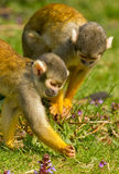 małpy gmeranie Zdjęcie Stock