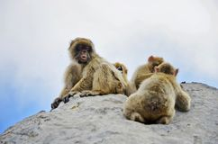 małpy kołysają obsiadanie Grupa Gibraltar małpy obrazy royalty free