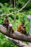 Małpy, kołyszący prymasy obrazy royalty free