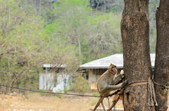 Małpy mienia pięcie i jedzenie drzewa Fotografia Royalty Free