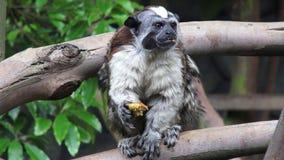 Małpy, prymasy, zoo zwierzęta, przyroda, natura zbiory wideo