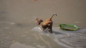 Małpy przy Pashupatinath świątynią, Kathmandu, Nepal zdjęcie wideo