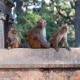 Małpy przy Pashupatinath świątynią w Kathmandu, Nepal Zdjęcie Royalty Free