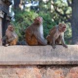 Małpy przy Pashupatinath świątynią w Kathmandu, Nepal Zdjęcia Stock