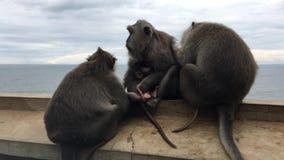 Małpy przy Uluwatu świątynią w Bali, Indonezja zbiory