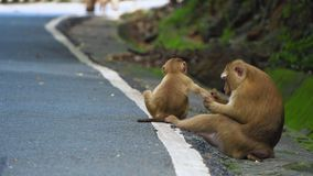 Małpy siedzą na drodze w tropikalnym lesie deszczowym park narodowy Azja zbiory