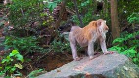 Małpy siedzi na skale w lesie zbiory wideo