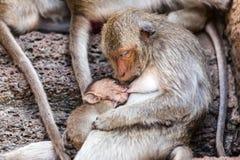 Małpy Tajlandia obrazy stock
