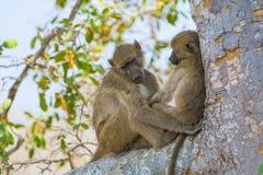 Małpy w Kruger parku narodowym, Południowa Afryka Fotografia Stock
