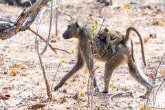 Małpy w Kruger parku narodowym, Południowa Afryka Fotografia Royalty Free