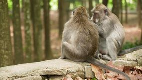 Małpy w lesie w Bali zbiory