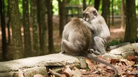 Małpy w lesie w Bali zbiory wideo