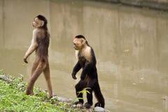 Małpy w Parque Historico, kulturalny i fotografia stock