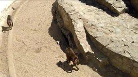 MaÅ'py walczÄ… w zoo. Makaki agresywne zdjęcie wideo