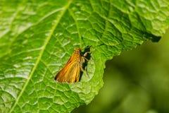 Mały ładny pomarańczowy motyl na zielonym liściu obrazy royalty free