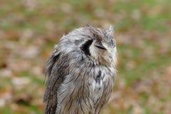Mały ładny szary sowa portret Zdjęcia Stock