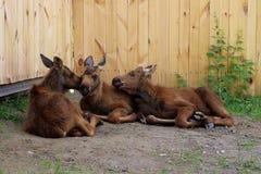 Mały łoś Trzy zwierzęta Relaksuje na gospodarstwie rolnym Goście no lubią Obraz Stock