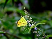 Mały Łososiowy Arabski motyl Obrazy Stock