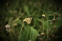 Mały Łososiowy Arabski motyli obsiadanie na małych kwiatach w ogrodowym wczesnym poranku Fotografia Stock